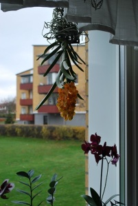 orkideeupponed