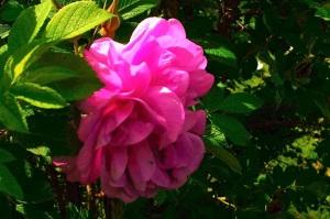 rosariet 31 maj