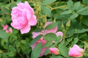rosorna